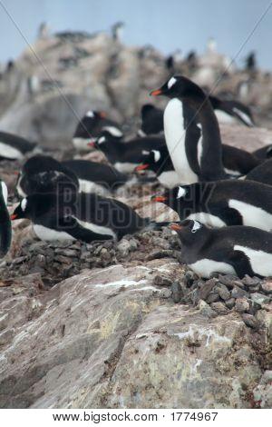 Gentoo Penguins, Nesting
