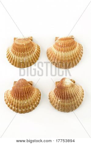 half scallop sea shell isolated on a white