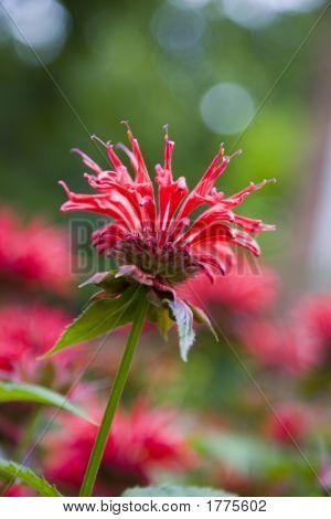 Monarda vermelho (cidreira)
