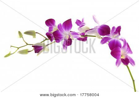 Branches of beautiful orchid against white background