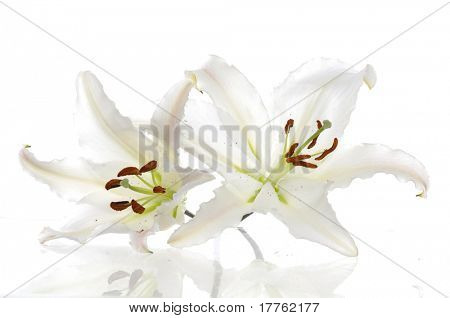 Beautiful Madonna lily isolated
