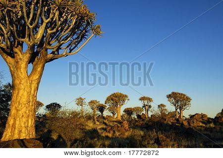 Desert landscape at sunrise with granite rocks and a quiver tree, Namibia