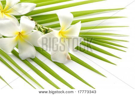 White Frangipanis with palm green leaf