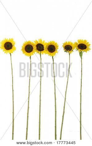 Mix sunflower-isolated on clear white background