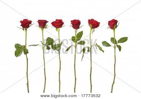 Long stem red roses on the white