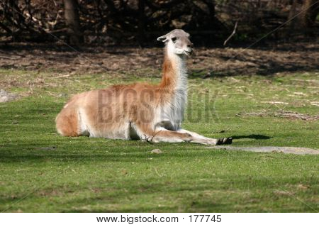 Llama Llesiure