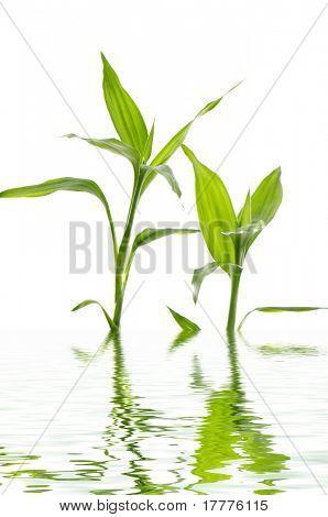 jungen grünen Bambus Blätter im Wasser