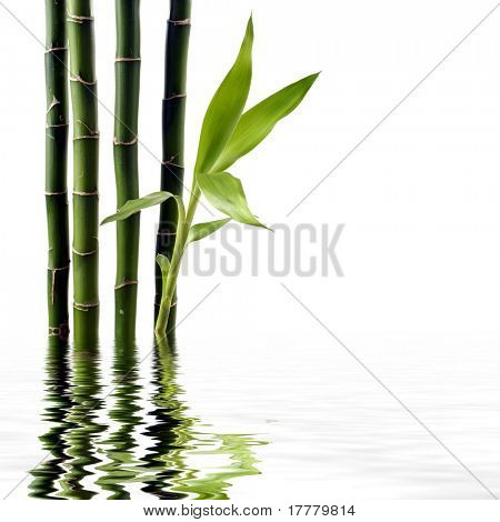 Young spouting bamboo with reflection