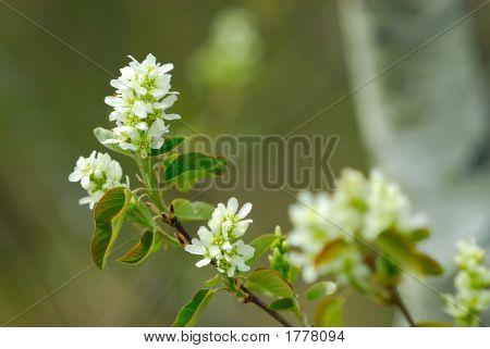 Chokecherry Blossom