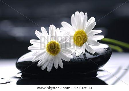 two gerbera daisy on zen stones
