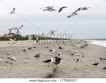 Many seagulls on Caswell Beach North Carolina in flight walking or eating on the sand. Wild seagull birds flying and walking on Caswell Beach.