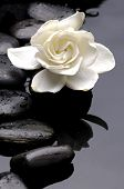 foto of white flower  - New Growth Gardenia  with black stones on water drop - JPG