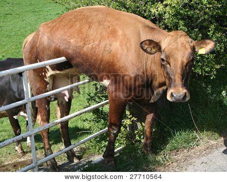 Pobre vaca.