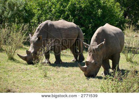 Two Feeding Rhinos