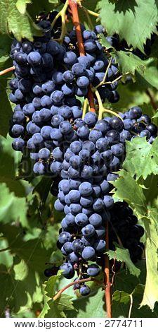 Grapes Blue
