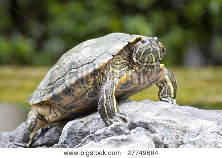 Schildkröte auf Stein warten