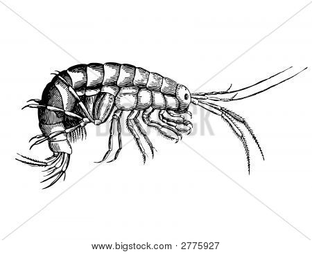 Fine Cancer From Sort Gammarus (Forage For Fishes)