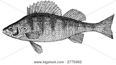 Pescado percas. Ilustración.