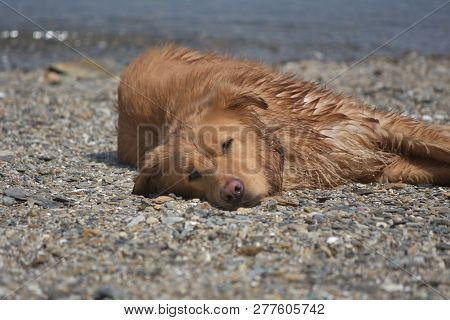 poster of Beautiful Close Up Look At A Yarmouth Tolller Dog Sleeping.