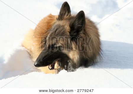 Shepherd Dog In The Snow