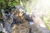 Family Of Cats Bask. Rest Of Feline Family. Gray Cats Sleep Next To Each Other On Green Grass. Felin poster