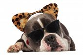 cute american bully wearing animal print headband looks down to side while lying on white background poster