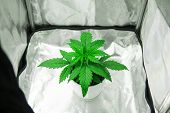 Vegetation Of Cannabis Growing. Cultivation Growing Under Led Light. Marijuana In Grow Box  Tent. Ca poster