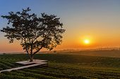 Alone Tree On Tea Plantation And Meadow In The Morning On Summer Day.  Natural And Agriculture Conce poster