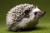 image of wild hog  - Hedgehog - JPG