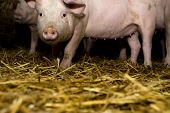 picture of farrow  - Little Pigs and hay. Agriculture industry concept