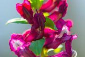 Macro Detail Of Solid-tubered Corydalis Spring Flowers Bloomings (corydalis Solida). Purple Corydali poster