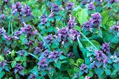 Excellent Purple Blossom Of Lamium Purpureum (purple Dead-nettle Or Purple Archangel ) Between Green poster