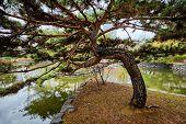 Pine tree in Yeouido Park public park in Seoul, Korea poster