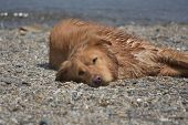 Beautiful Close Up Look At A Yarmouth Tolller Dog Sleeping. poster