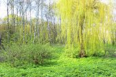 Willow Tree With Young Leaves In The City Park poster