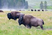The Herd Bisons In Yellowstone National Park, Wyoming. Usa.  The Yellowstone Park Bison Herd In Yell poster