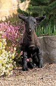 picture of suffolk sheep  - Black Lamb in agmonst the heathers of the garden - JPG