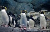 A Group Of Northern Rockhopper Penguins With A Menacing Gaze And Spread Wings Standing On The Rocks  poster