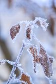 Beautiful White Frost On Autumn Leaves On Branch. Shallow Depth Of Field poster