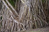 Aerial Prop Roots Of Pandanus Tree Also Known As Pandan Or Screw Pine Or Screw Palm. It Is A Palm-li poster