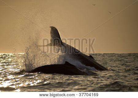 Humpback Whales Splashing