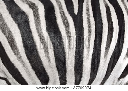 the structure of hide of zebra