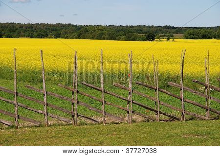 Field with yellow flowers and traditional fence