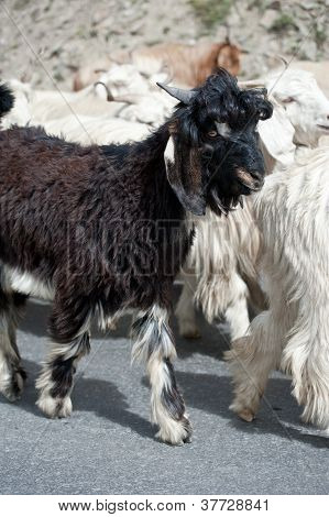 Black Kashmir (pashmina) Goat From Indian Highland Farm In Ladakh Going With Herd