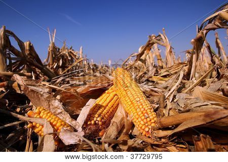 Yellow Corn In The  Field