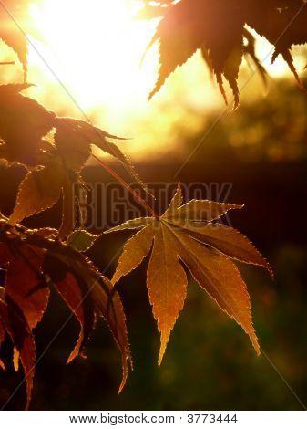 Autumn Sunset Maple Leaves