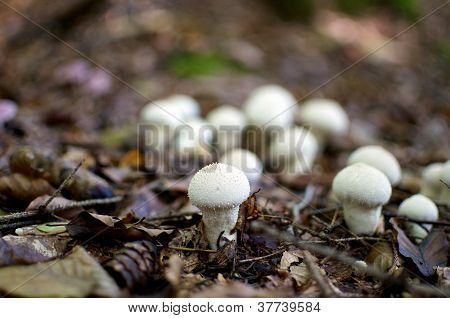Common Puffballs
