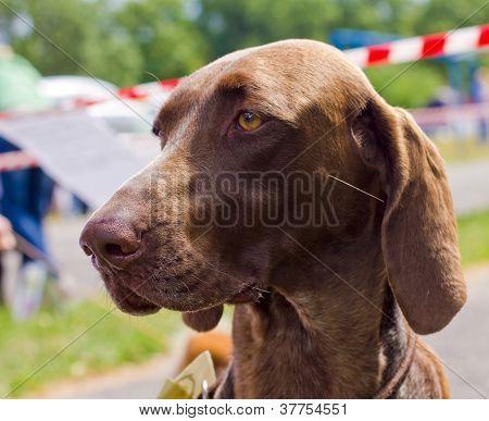 Close-up Portrait Of The Dog Deutsch Kurzhaar Breed