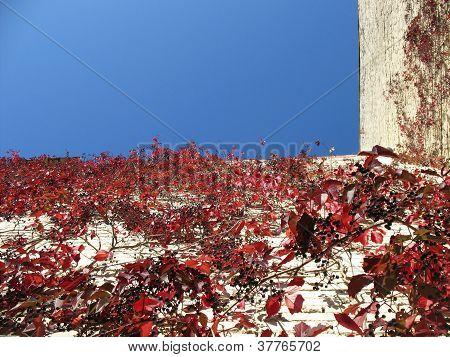 Quinata girlish grapes or grape Virginia (Parthenocissus quinquefolia) fall