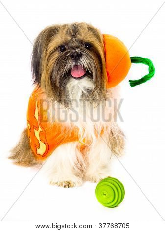 Dog In A Pumpkin Costume